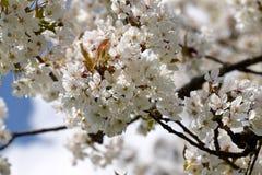 Вишневые цвета на ветви весной стоковые изображения rf
