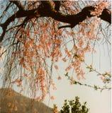 Вишневые цвета на времени весны Стоковое Изображение