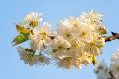 Вишневые цвета на голубом небе вал весны японии вишни предпосылки зацветая близкий флористический вверх стоковые фотографии rf