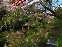 Вишневые цвета на городке Nebukawa Стоковое фото RF