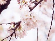 Вишневые цвета на дереве в Японии Стоковая Фотография RF