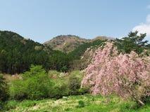 Вишневые цвета на парке горы Maku Стоковые Фотографии RF
