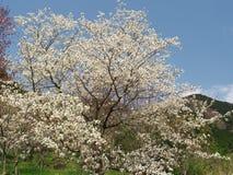 Вишневые цвета на парке горы Maku Стоковая Фотография RF