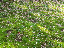 Вишневые цвета на парке замка Стоковое Фото