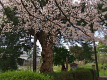 Вишневые цвета на парке замка Стоковое фото RF