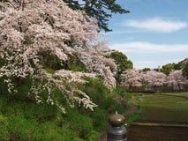 Вишневые цвета на парке замка Стоковые Фотографии RF