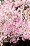 Вишневые цвета на парке Ueno Стоковые Фотографии RF