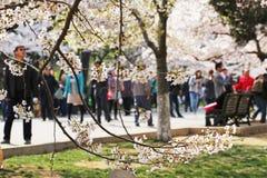 Вишневые цвета полностью зацветают весной в Qingdao, Китае стоковое изображение