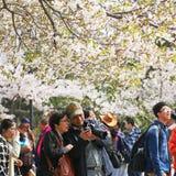 Вишневые цвета полностью зацветают весной в Qingdao, Китае стоковые изображения rf