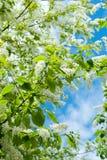 Вишневые цвета птицы ветвей Стоковое Фото