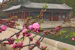 Вишневые цвета Сакура весной, зацветая деревья Стоковое фото RF