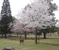 Вишневые цвета Сакура и олени в парке Nara, Японии стоковые фотографии rf