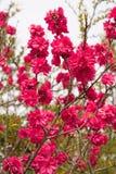 Вишневые цвета Сакуры весны, розовые цветки Стоковое Изображение RF