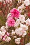 Вишневые цвета Сакуры весны, розовые цветки Стоковые Изображения RF