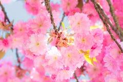 Вишневые цвета Сакуры Стоковые Изображения RF