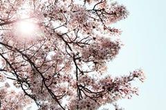 Вишневые цвета Стоковое Фото