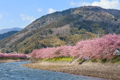 Вишневые цвета Kawazu-zakura на береге реки Kawazu Стоковое Фото