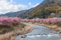 Вишневые цвета Kawazu-zakura на береге реки Kawazu Стоковые Фото