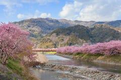 Вишневые цвета Kawazu-zakura на береге реки Kawazu Стоковые Изображения RF