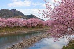 Вишневые цвета Kawazu-zakura на береге реки Kawazu Стоковые Фотографии RF