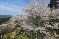 Вишневые цвета Yoshino Стоковое Изображение RF