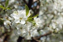 Вишневый цвет, белые цветки, весна, конец-вверх Стоковое Фото