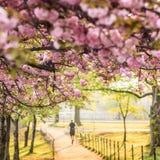 Вишневый цвет. Вашингтон, DC Стоковые Фото