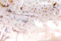 Вишневый цвет весной, предпосылка Стоковая Фотография