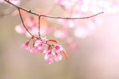 Вишневый цвет весной стоковые изображения rf