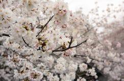 Вишневый цвет весной - Япония Стоковые Изображения RF