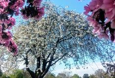 вишневый цвет весной Стоковые Фото