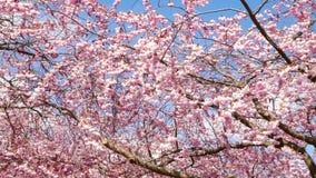 вишневый цвет весной сток-видео