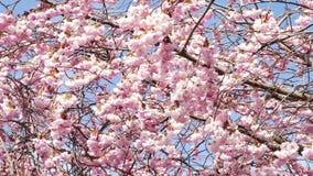 вишневый цвет весной видеоматериал