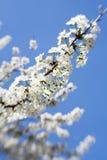 Вишневый цвет весны Стоковые Изображения RF