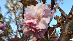 Вишневый цвет весны Стоковое Изображение RF
