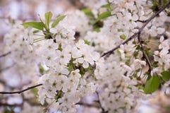 Вишневый цвет, ветви Сакуры весны с цветками пинка и белых стоковые изображения