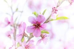 Вишневый цвет, ветви Сакуры весны с цветками пинка и белых стоковая фотография rf