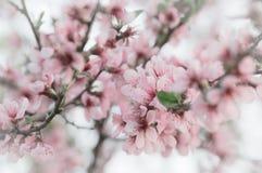 Вишневый цвет, ветви Сакуры весны с цветками пинка и белых стоковое фото