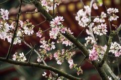 Вишневый цвет в ветви Стоковая Фотография