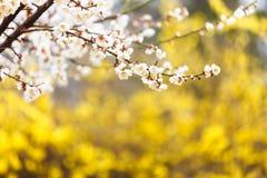 Вишневый цвет в дворце Gyeongbokgung Стоковая Фотография RF