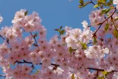 Вишневый цвет в голубых небесах Стоковое Изображение