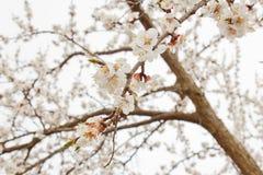 Вишневый цвет в деревне против белого неба ландшафт весны, возрождение природы белые цветки на фруктовом дереве стоковые фотографии rf