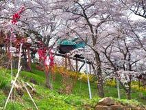 Вишневый цвет в парке Funaoka Joshi в префектуре Miyagi, Японии Стоковое Изображение RF