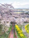 Вишневый цвет в парке Funaoka Joshi в префектуре Miyagi, Японии Стоковая Фотография RF