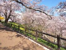 Вишневый цвет в парке Funaoka Joshi в префектуре Miyagi, Японии Стоковые Изображения RF