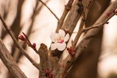 Вишневый цвет в саде Стоковое Изображение