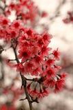 вишневый цвет в Таиланде Стоковые Изображения