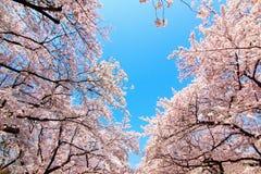 Вишневый цвет в токио Японии 2015 парка ueno Стоковое Изображение RF