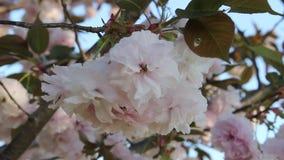 Вишневый цвет в университете Yamaguchi сток-видео