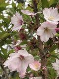 Вишневый цвет в Фудзи Стоковое фото RF